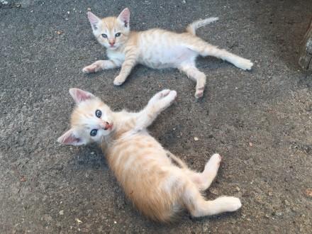 Віддам в добрі рукі маленьких кошенят. Нежин. фото 1
