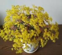 продається рослинка з другого фото. перше фото як приклад цвітіння. Ровно, Ровненская область. фото 2