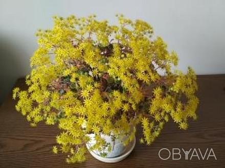 продається рослинка з другого фото. перше фото як приклад цвітіння. Ровно, Ровненская область. фото 1