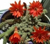продам дітки такого кактуса. Ровно, Ровненская область. фото 2