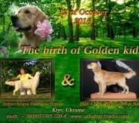 Золотистого ретривера превосходные щенки. Киев. фото 1