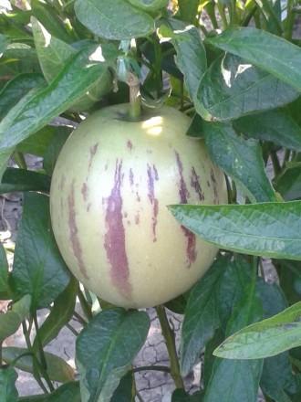 Плод пепино, по сути, ягода. Как, скажем, арбуз или дыня. Форма его иногда напом. Мариуполь, Донецкая область. фото 4
