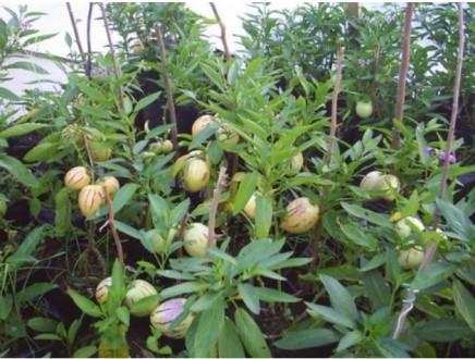 Плод пепино, по сути, ягода. Как, скажем, арбуз или дыня. Форма его иногда напом. Мариуполь, Донецкая область. фото 6