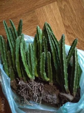 неприхотливое растение,продается без горшка,путем перевалки с комом земли.от 25 . Одесса, Одесская область. фото 5