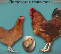 куры Полтавская глинистая - яйцо инк., цыплята под заказ. Полтава. фото 1