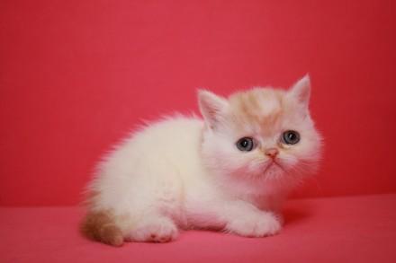 Экзоти́ческая короткошёрстная кошка (экзо, экзот) — искусственно выведенная поро. Киев, Киевская область. фото 7