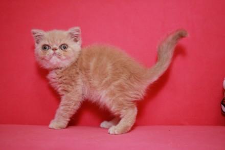 Экзоти́ческая короткошёрстная кошка (экзо, экзот) — искусственно выведенная поро. Киев, Киевская область. фото 4