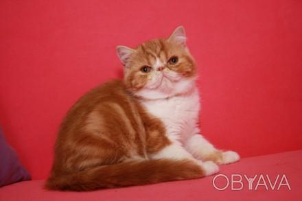 Экзоти́ческая короткошёрстная кошка (экзо, экзот) — искусственно выведенная поро. Киев, Киевская область. фото 1