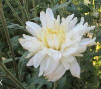 Хризантема рудбекия чистец. Хмельницкий. фото 1