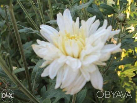 Хризантема рудбекия чистец