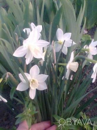 Нарциссы пион гортензия семена древовидного пиона
