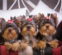 породные щенки йоркширского терьера. Киев. фото 1