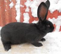 Самки строкача от 3,5мес.Черная белая и бело голубая самки.Пересылка в другие ре. Чернигов, Черниговская область. фото 4