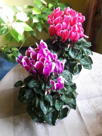 Продам цветущий цикламен в5сь а бутона.Цена 280р.феникс 0713217597. Донецк, Донецкая область. фото 3