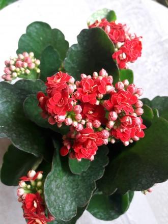 Продам цветущий каланхое 180р.(0713217597). Донецк, Донецкая область. фото 4
