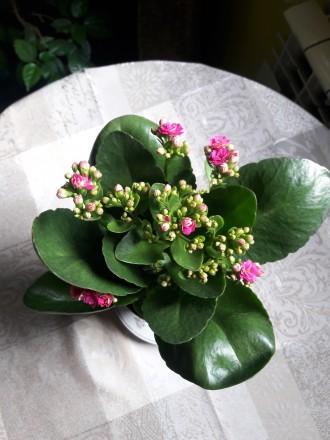 Продам цветущий каланхое 180р.(0713217597). Донецк, Донецкая область. фото 8
