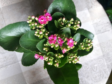 Продам цветущий каланхое 180р.(0713217597). Донецк, Донецкая область. фото 3