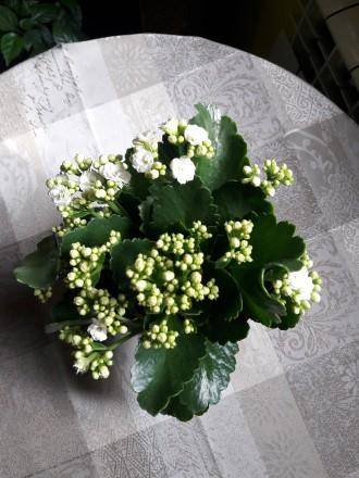 Продам цветущий каланхое 180р.(0713217597). Донецк, Донецкая область. фото 7
