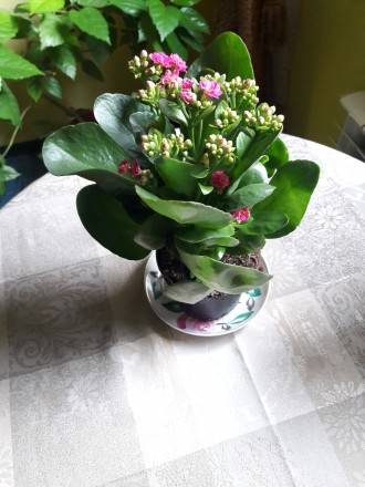 Продам цветущий каланхое 180р.(0713217597). Донецк, Донецкая область. фото 2
