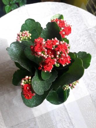 Продам цветущий каланхое 180р.(0713217597). Донецк, Донецкая область. фото 5