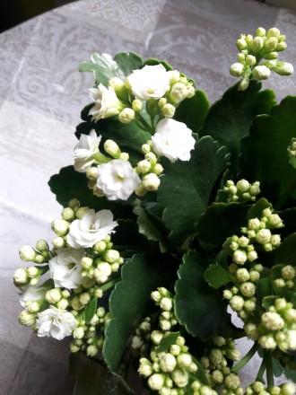 Продам цветущий каланхое 180р.(0713217597). Донецк, Донецкая область. фото 6