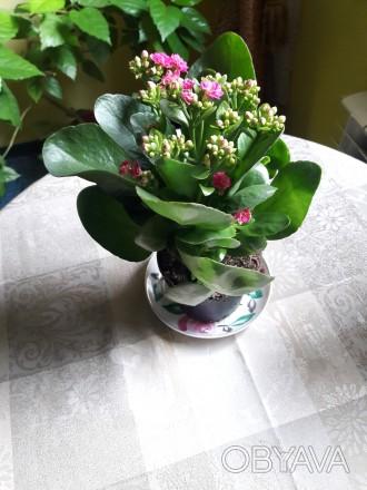 Продам цветущий каланхое 180р.(0713217597). Донецк, Донецкая область. фото 1
