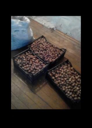 Продам грецкий орех, урожай 2019 года, пока что есть столько смотрите фото, орех. Чернигов, Черниговская область. фото 2