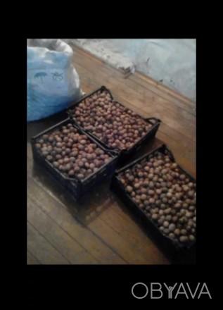 Продам грецкий орех, урожай 2019 года, пока что есть столько смотрите фото, орех. Чернигов, Черниговская область. фото 1
