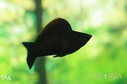 продам моллинезий Вилифера ,среднего размера ,серебристые и черныеи другие аквар. Винница, Винницкая область. фото 1