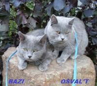 Вязки коты британский и шотландский. Винница. фото 1