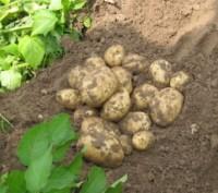 картофель продовольственный,картофель семенной. Чернигов. фото 1