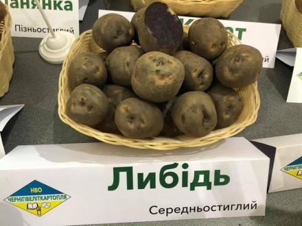 картофель семенной. Чернигов. фото 1