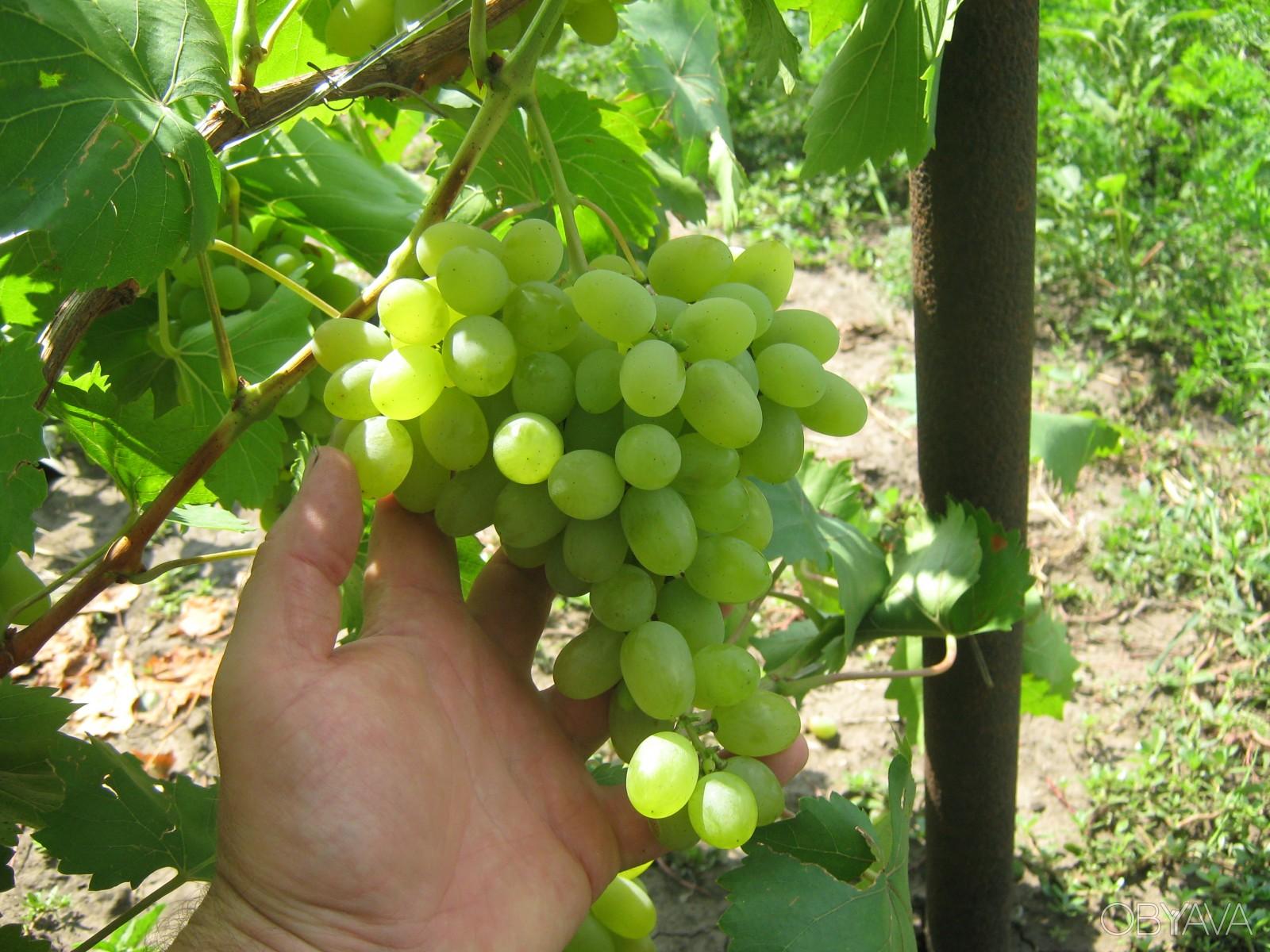 виноград феномен описание сорта фото приходят восторг игры