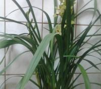 Цимбидиум относится к наземным орхидеям. В отличие от фаленопсиса и других эпифи. Винница, Винницкая область. фото 5