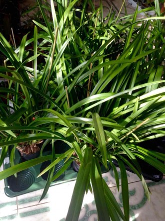 Цимбидиум относится к наземным орхидеям. В отличие от фаленопсиса и других эпифи. Винница, Винницкая область. фото 6
