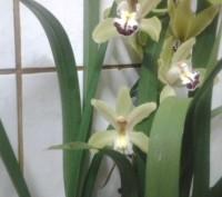 Цимбидиум относится к наземным орхидеям. В отличие от фаленопсиса и других эпифи. Винница, Винницкая область. фото 4