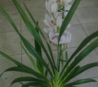 Цимбидиум относится к наземным орхидеям. В отличие от фаленопсиса и других эпифи. Винница, Винницкая область. фото 3
