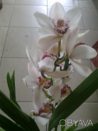 Цимбидиум относится к наземным орхидеям. В отличие от фаленопсиса и других эпифи. Винница, Винницкая область. фото 1