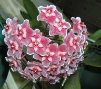 Продам укорененные черенки хойи Pubicalys Silver Pink.  Цена 50 грн. Есть раст. Одесса, Одесская область. фото 2