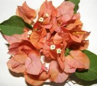 Бугенвиллия розовая,оранжевая,белая. Винница. фото 1