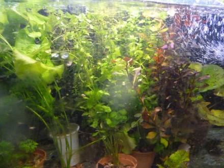 Низькорослі рослини(передній план). Анубіас нана від 20грн Лілеопсіс бразилійс. Борислав, Львовская область. фото 11