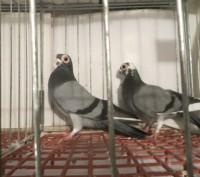 Продам голуби бельгійські. Львов. фото 1