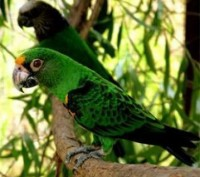 Ручной говорящий конголезский попугай. Киев. фото 1