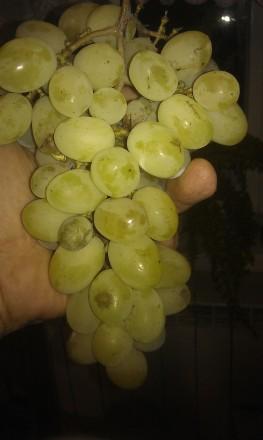 саджанці винограду. Жидачев. фото 1