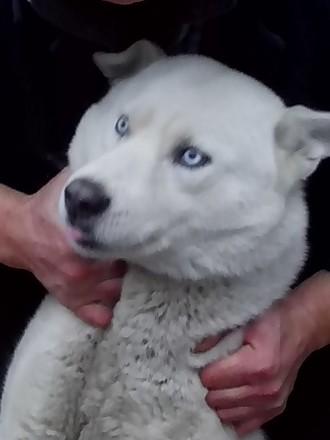 Белый хаски с голубыми глазами ищет подругу для приятных встреч на своей террито. Чернигов, Черниговская область. фото 2
