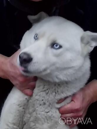 Белый хаски с голубыми глазами ищет подругу для приятных встреч на своей террито. Чернигов, Черниговская область. фото 1