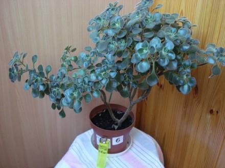Аихризон - дерево любви . Красивый и нежный суккулент  с  листиками,  напоминающ. Киев, Киевская область. фото 2
