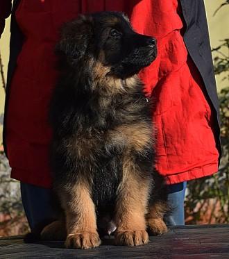 В нашем питомнике v. FOXBERG. Вам предложат щенков немецкой овчарки с отличной и. Одесса, Одесская область. фото 3
