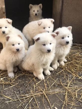 Продаю щенята білої швейцарської вівчарки з розплідника White Dog щенята привиті. Коломыя, Ивано-Франковская область. фото 4