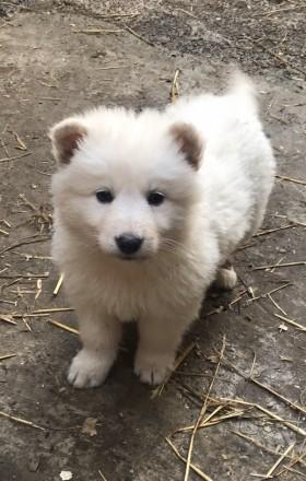 Продаю щенята білої швейцарської вівчарки з розплідника White Dog щенята привиті. Коломыя, Ивано-Франковская область. фото 3